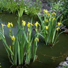 L'Iris pseudacorus ou Iris des marais s'épanouit dans les zones humides voire inondées (immersion jusqu'à 40 cm de profondeur)