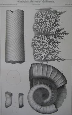 "Pl.15 Paleontology Vol. I (Cretaceous). A detailed lithographic print of fossilized shells by M. Gabb from his book ""Geological Survey of California"". This book was Published by Authority of the Legislature of California by Bowen and Co. 1864 & 1869. First Editions. Two Volumes. Vol. 1, [xx] 243 pp. Vol. 2, [xvi], 299 pp. The book featured A total of 68 engraved plates of fossils with printed tissue guards. Carboniferous and Jurassic Fossils. Triassic and Cretaceous Fossils. Overall this..."