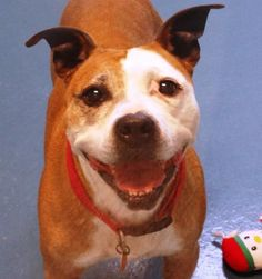 Meet GiGi, a Petfinder adoptable Pit Bull Terrier Dog | Waynesboro, PA | HI, I'M GIGI! I'M A SUPER-SWEET GIRL. PUPPIES ARE VERY NICE BUT WE 'MATURE' GIRLS NEED LOVE...
