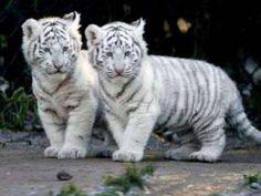 White Tiger Babies