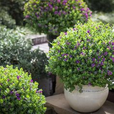 Polygalas are versatile shrubs with mauve pea like flowers borne on a neat evergreen shrub like plant Container Plants, Container Gardening, Balcony Gardening, Lawn And Garden, Garden Beds, Garden Plants, Dwarf Evergreen Shrubs, Shrubs For Landscaping, Landscaping Ideas