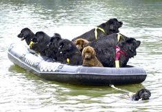 Big dogs are legit super heroes. 29 Reasons Big Dogs Are Infinitely Better Than Small Dogs Big Dogs, Small Dogs, Cute Dogs, Dogs And Puppies, Doggies, Love My Dog, Terranova Dog, Perros Bull Terrier, Terra Nova