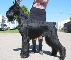 Giant Schnauzer, not as big as Great Dane and Rottweiler though. #DogBreeds #NaturesSelect