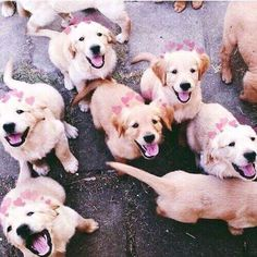 These Golden Retriever puppies love to attack with love and kisses. Prepare for a cuteness overload! Cute Puppies, Cute Dogs, Dogs And Puppies, Doggies, Labrador Puppies, Golden Retriever Puppies, Funny Golden Retrievers, Labrador Retrievers, Retriever Puppy
