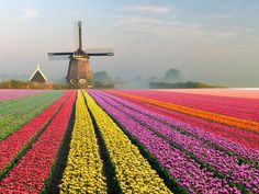 Whether they're in Amsterdam's Keukenhof Gardens or the countryside between Hillegom and Warmond, the tulips of Holland are almost fictionally beautiful. The addition of Dutch windmills and people riding around on bicycles only adds to the charm.