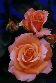 """Rose """"Warm_Wishes"""" / Peachy, Coral - Potted Bush Roses (Potted Hybrid Tea Roses) - Medium fragrance"""
