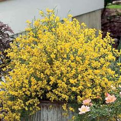 1000 images about low growing shrubs on pinterest for Low growing flowering shrubs