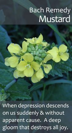 Bach Flower Remedy, Mustard - helping us when deep depression descends out of the blue, destroying our capacity to feel happiness. Mustard helps to restore inner stability, peace & our capacity to feel joy again.
