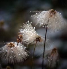 Dandelions ~ Shenshen Dou