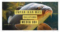 200 Ide Barracuda Ikan Ikan Mas Essen