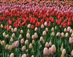 Sarah's loves tulips. These were taken at Keukenhof Gardens in Amsterdam.