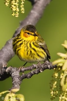 One of the most beautiful of the warblers, the Cape May warbler is uncommon, although often seen in migration. The male bird in breeding plumage has chestnut cheeks and a white wing patch, and is yellow below with heavy black streaks. The female has a duller coloration but retains a suggestion of the cheek patch. Both sexes are 5 inches long.