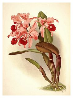 003-Cattleya Lawrenceana-Reichenbachia-Orchids illustrated and described..Vol I-1888-F.Sander