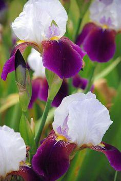 Rising Meadow Farms Iris