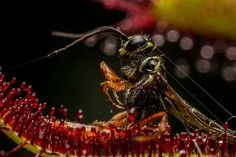 Wasp vs Sundew  Sundews are carnivorous plants that secrete sticky mucilage to ensnare their prey.