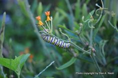 Attracting butteflies to the garden - Monarch butterfly caterpillar munching on butterfly weed.