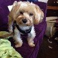 Lost Dog alert in Allston, MA. $500 REWARD! Small Tan/Blonde/White Yorkie/Maltese Mix LOST 8/1. Call (617)291-3561 or go to lostmydoggie.com