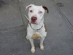 TO BE DESTROYED 5/31/14Brooklyn Center  My name is PRESIOUS. My Animal ID # is A1001196.I am a female tan and white am pit bull ter mix. The shelter thinks I am about 1 YEAR I came in the shelter as a OWNER SUR on 05/27/2014 from NY 11208, owner surrender reason stated was PERS PROB. MOST RECENT MEDICAL INFORMATION AND WEIGHT05/27/2014 Exam Type VACCINATE - Medical Rating is 1 - NORMAL , Behavior Rating is NONE, Weight 50.4 LBS.No Final Exam05/27/2014 PET PROFILE MEMODOG INFORMATION SHEET…