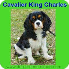 Cavalier King Charles Spaniel Dog Breed Information Spaniel Breeds, Spaniel Dog, King Charles Spaniel, Cavalier King Charles, Calm Dog Breeds, Brittany Spaniel, English Springer Spaniel, Pets, Dog Days