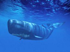 cachalote es el depredador dentario más grande del mundo. Los machos llegan a medir de 16 a 20 metros de largo, en cambio las hembras llegan a medir hasta 13 metros. Llega a alcanzar las 41 toneladas de peso.