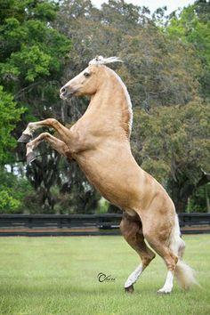 Trote y Galope Stallion