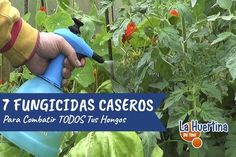 Herbs, Nature, Gardening, Ideas Para, Homestead, Chile, Gardens, Plant Based, Natural Bug Killer