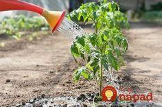 Toto by mal vedieť každý, kto pestuje paradajky: 11 tajomstiev, ako dopestovať bohatú úrodu šťavnatých a chutných plodov! Tomato Pruning, Tomato Plants, Growing Tomatoes, Dried Tomatoes, Tomato Farming, Garden Plants, Outdoor Power Equipment, Garden Tools, How To Look Better