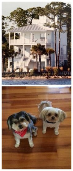 Stay in this beautiful luxury home in Florida FREE via looking after these two adorable dogs! See more details here: http://www.travellingweasels.com/2015/04/house-sitting-opportunities.html