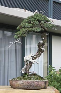 PROCUMBENS #bonsai