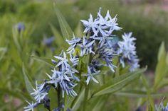 Amsonia tabernaemontana `Salicifolia` (Blauwe Ster)