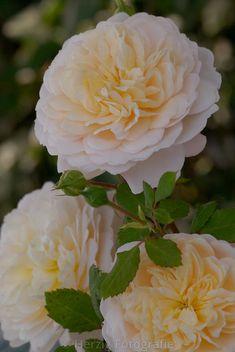 """Rose """"Crocus Rose"""""""