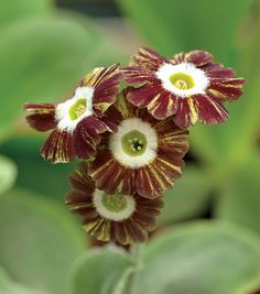 "Greenhouse: Auriculas ""Catherine Wheel"""
