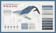 Infographic Commercial Whaling Information Design by Alexandra Flatness on Behance