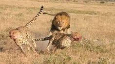Image result for cheetah while hunting