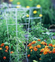 Healthy tomato plants may sprawl or grow into vigorous vines. Contain them in a cage or train them to a trellis to keep fruits off the ground and make harvesting easier. Galvanized wire tomato cages are a quick and easy solution. However, they may not be large or sturdy enough to support rampant growth. Check out the rest of the slide show for more great ideas on how to tame your tomatoes.