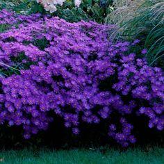 Aster, Bleu Violet, Gardening, Flowers, Ideas, Abundance, Blue Flowers, Landscape Fabric, Landscape Planner