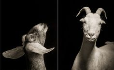 These may be the most magnificent portraits of goats and sheep you'll ever see - The Washington Post