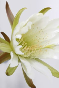 cactus flower, white elegance, beautiful