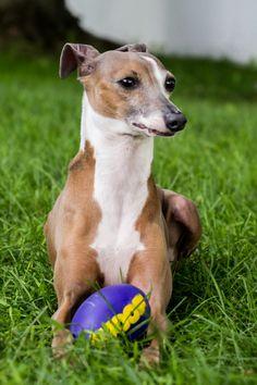 P Young Greyhound Trainer Wisconsin italian grey...