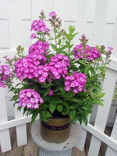 Volcano phlox, a mildew-resistant, compact phlox by lupe