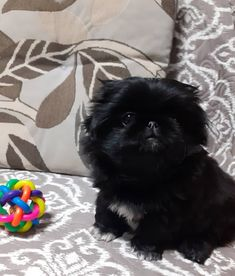 Pekingese Puppies, Cutest Dogs, I Love Dogs, Fur Babies, Life Is Good, Dog Cat, Pets, Baby, Animals