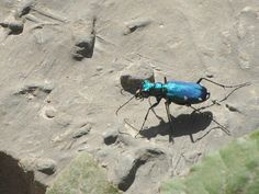 six-spotted tiger beetle, beaver Valley, Grey County, by Noah Cole #ONinsects