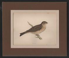 Bunting Bird -  Original c1860 Morris H/C Print DOUBLE MATTED