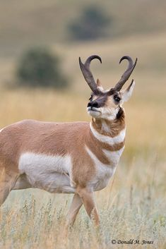 Pronghorn Antelope . Not an actual species of 'antelope', but the last extant member of an entirely separate ungulate family .