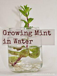 Outdoors in London: Growing Mint in Water