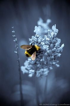 Art42 Beautiful Pictures Ble Bee Insect Bees Wildlife Lavender Bush
