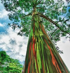 These trees achieve their magnificent patterns with no aid from humans at all. The Rainbow Eucalyptus Tree, native to the Philippines, Papua New Guinea, and Indonesia, has this happen when the bark dries and peels off to reveal the different coloured layers beneath it.
