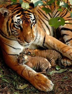 Purrrfect ~ Newly born Bengal tiger cubs whose eyes have not yet open