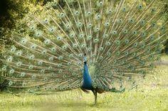 Paun - peacock