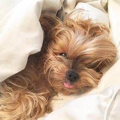 Come back to bed ⋆ It's a Yorkie Life Cute Little Puppies, Cute Little Animals, Cute Puppies, Puppies And Kitties, Yorkie Puppy, Funny Dog Pictures, Cute Animal Pictures, Yorkie Haircuts, Yorshire Terrier